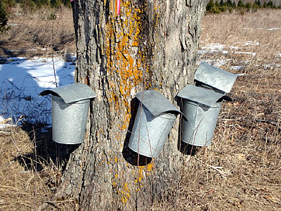Maple Tree and Maple Syrup
