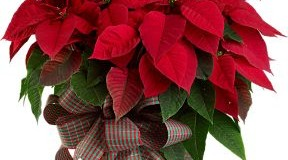 Poinsettias Are Not Poisonous