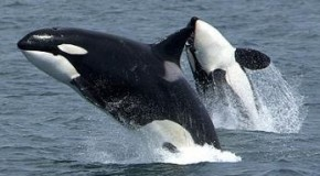 Killer Whales Are Actually Dolphins