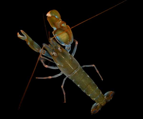 http://www.todayifoundout.com/wp-content/uploads/2010/09/Snapping-Shrimp-Pistol-shrimp.jpg