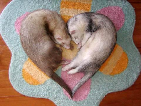 Female Ferrets Will Die If They Don't Mate