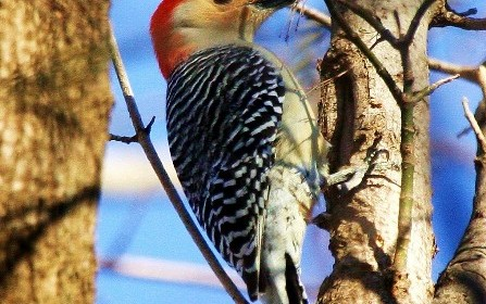 Red_belllied Woodpecker
