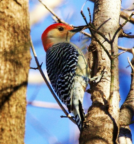 A Red Bellied Woopeckers Tongue Is Almost Three Times The Length Of Its Beak And Wraps Around Skull When Retracted