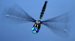Dragonflies Can Fly Up to 60 mph (97 km/h)