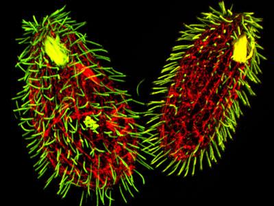 Hasil gambar untuk Tetrahymena thermophila.