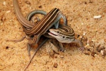 What lizard reproduces asexually