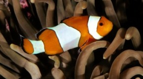 Clownfish are All Born Male, a Dominant Male Will Turn Female When the Current Female of the Group Dies