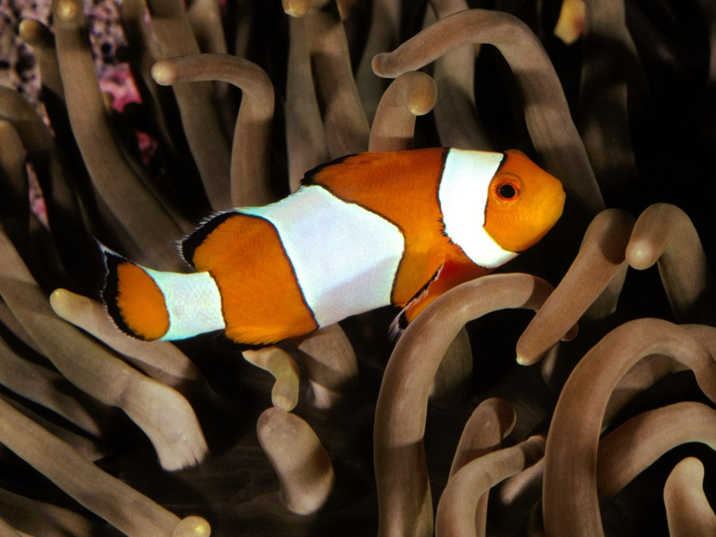 How do clown fish have sex