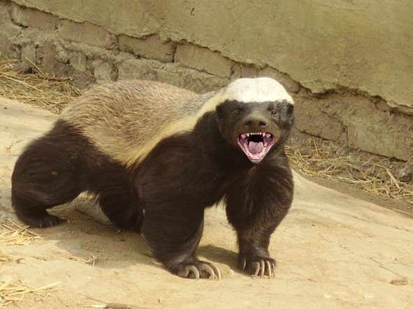 The World's Most Fearless Creature is the Honey Badger