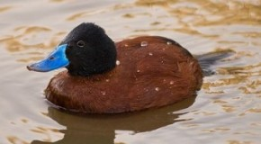 There is a Type of Duck That Sometimes Lassos its Potential Mates with its Penis