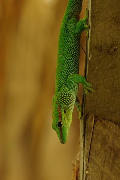 why a gecko s feet can stick to almost anything