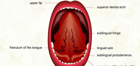 056 Tongue (lower surface)
