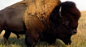 "American ""Buffalo"" are Not Actually Buffalo"