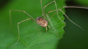 """Daddy Long Legs"" Are Not the Most Poisonous Spider"