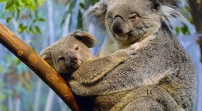 Koalas Are Not a Type of Bear