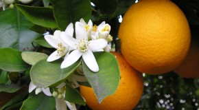 Navel Orange Trees are All Clones of Each Other