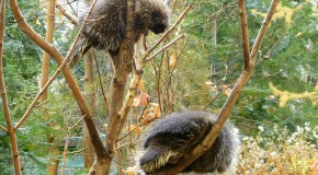 How Porcupines Mate
