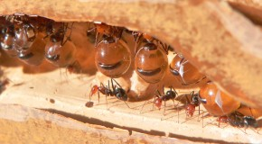 Certain Ants are Used as Living Food Storage Vessels