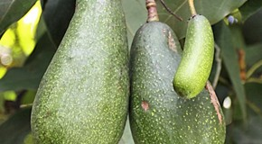 """Avocado"" Derives from a Word Meaning ""Testicle"""