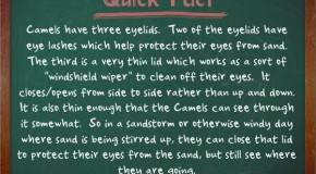 Camels Have Three Eyelids