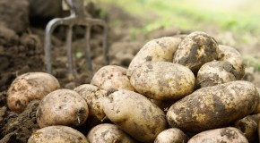 "Why are Potatoes Called ""Spuds""?"