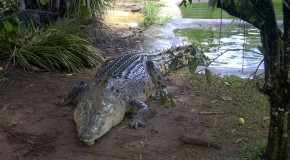 Crocodiles Really Do Shed Tears When They Eat