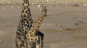 Before Mating, the Female Giraffe Will First Urinate in the Male's Mouth