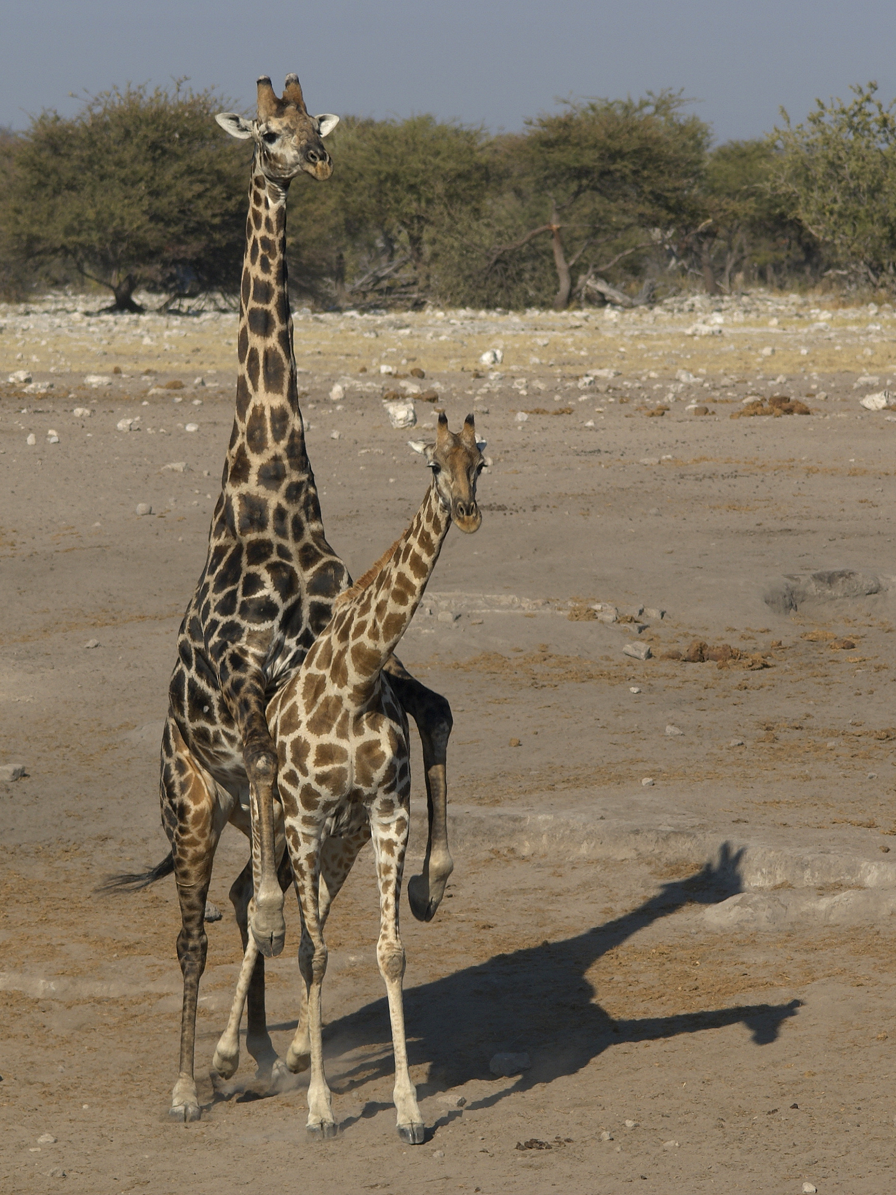 Before mating the female giraffe will first urinate in the males today biocorpaavc Images