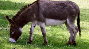Difference Between a Donkey and a Mule