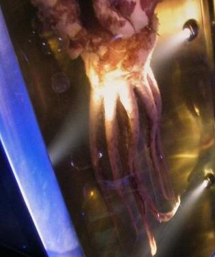 the colossal squid has a doughnut shaped brain with their