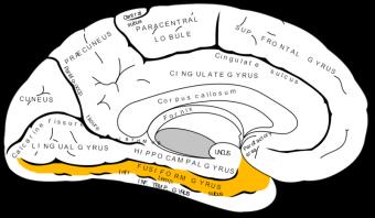 fusiform-gyrus