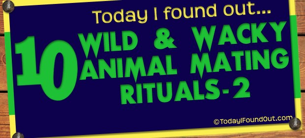 10 Wild and Wacky Animal Mating Rituals (Part-2) Thumbnail