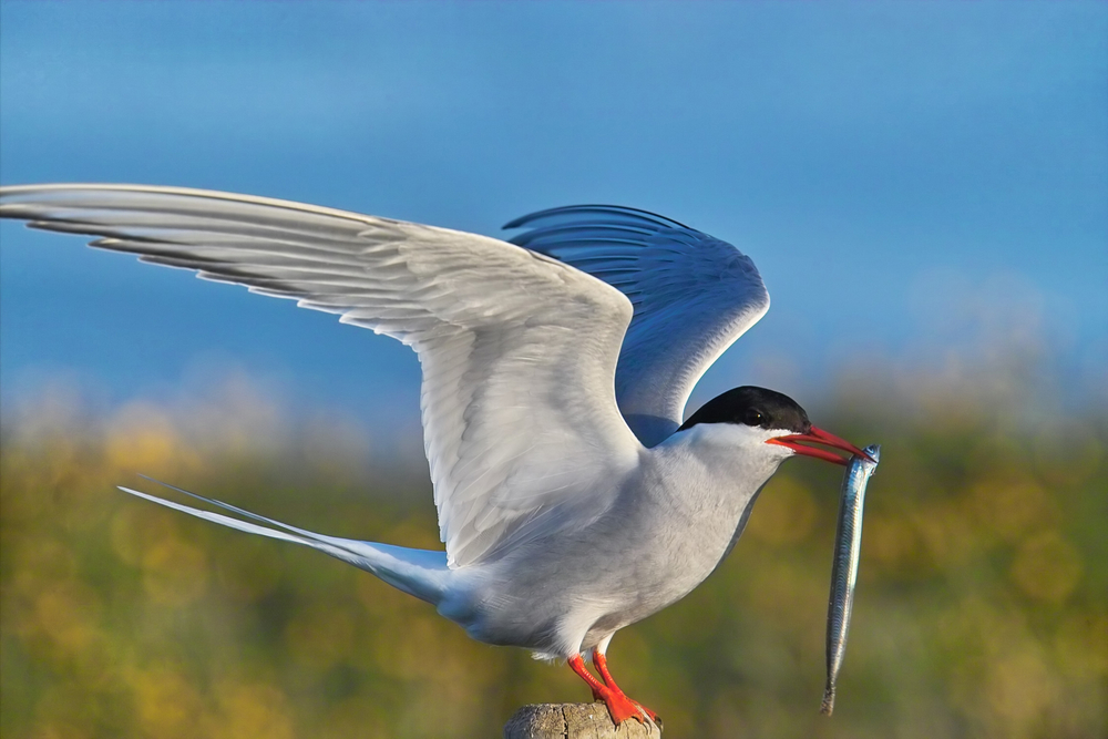 seabird and arctic terns Seabirds and marine - what are seabirds  common tern - sterna hirundo  some seabirds -- such as the arctic tern, which migrates from pole to pole every year .