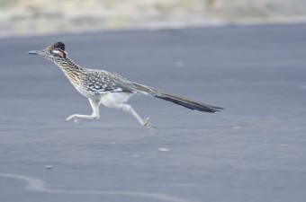 An actual roadrunner bird.  MEEP MEEP!