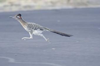 An actual roadrunner bird.  MEEP MEEP!
