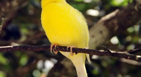 Canary Birds Were Named After the Canary Islands, Not the Other Way Around