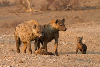 hyena-mothers