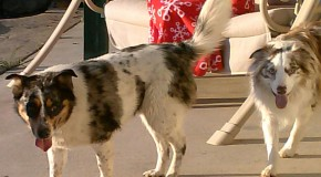 The &#8220;Australian&#8221; Shepherd Breed was Developed in America