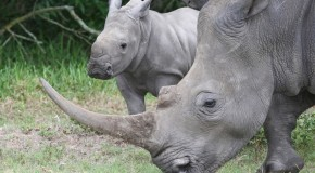 12 Interesting Facts You Probably Didn't Know About Rhinoceroses