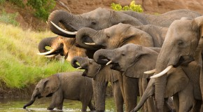 Elephants Really Do Have Exceptionally Good Memories