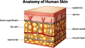 anatomy-of-skin