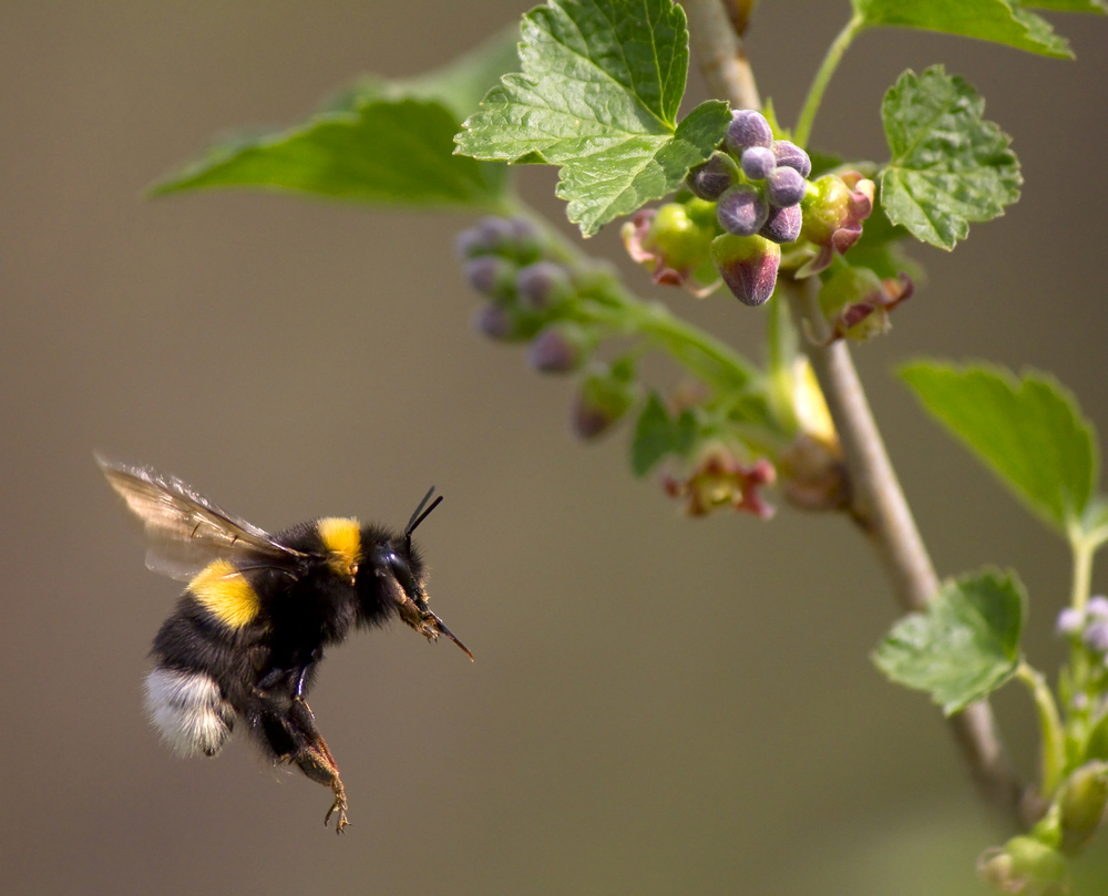 Bumblebee Flight Does Not Violate the Laws of Physics
