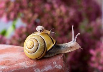 piggyback-snail