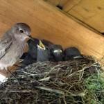 baby-bird-340x255