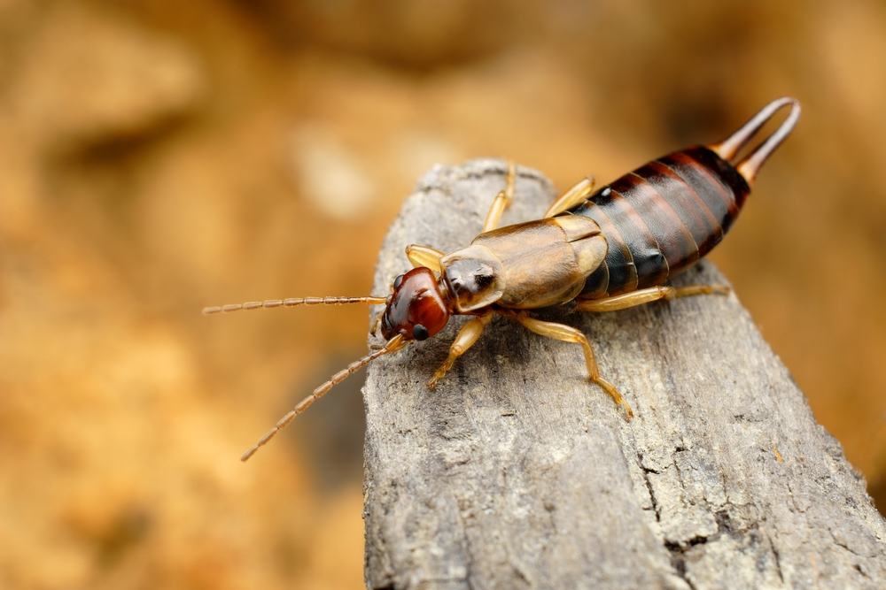 Do Earwigs Really Lay Eggs in Your Ears?