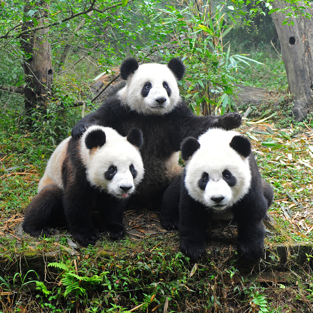 the giant panda The giant panda is probably the most recognisable endangered animal in the world they are solitary bears found only in china's mountainous bamboo forests.