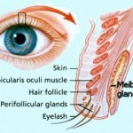 meibomian-glands-e1298542282825