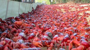The March of the Christmas Island Red Crab