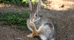 Why a Rabbit's Foot is Considered Lucky
