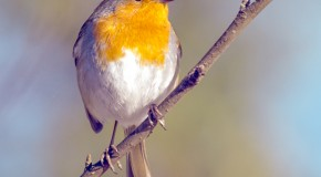 Robins Can See Magnetic Fields, But Only In One Eye